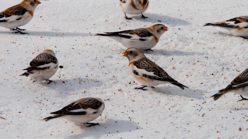 Snow Buntings royalty free stock photography