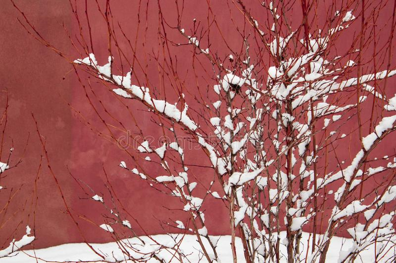 Snow on a bush branches on a pink in rustic dusty tea rose color royalty free stock image