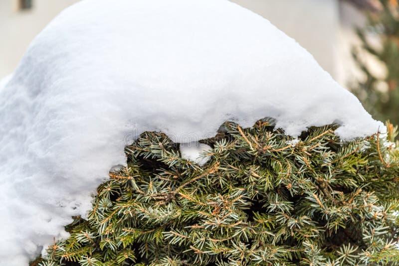Snow on bush. Snow on green conifer bush stock image