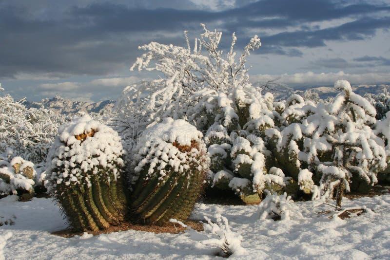 Download Snow Cactus stock photo. Image of cacti, snowy, plant - 1831306
