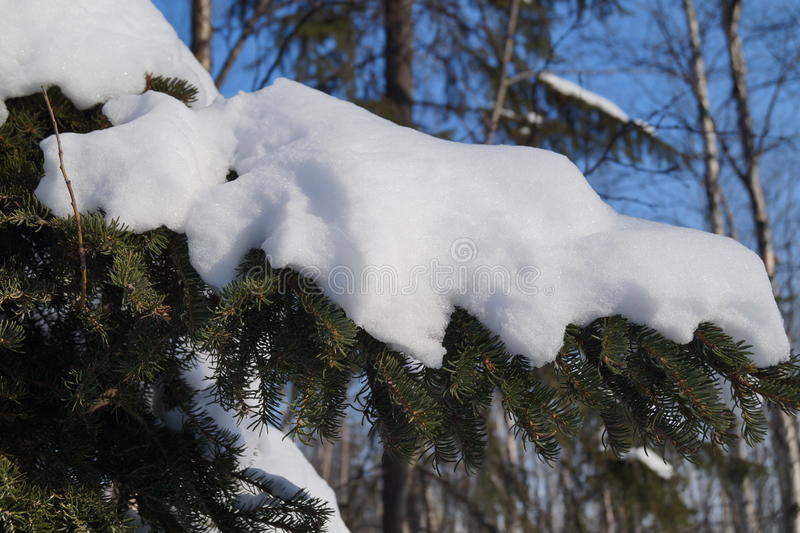 Snow cap on the trees. stock image
