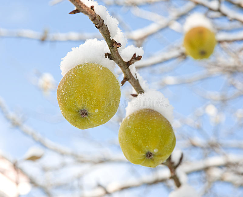 Snow capped apples. An image of apples prior to harvesting covered by an early, heavy , snow fall. The crop might well be spoiled by this prematurely bad Winter stock images