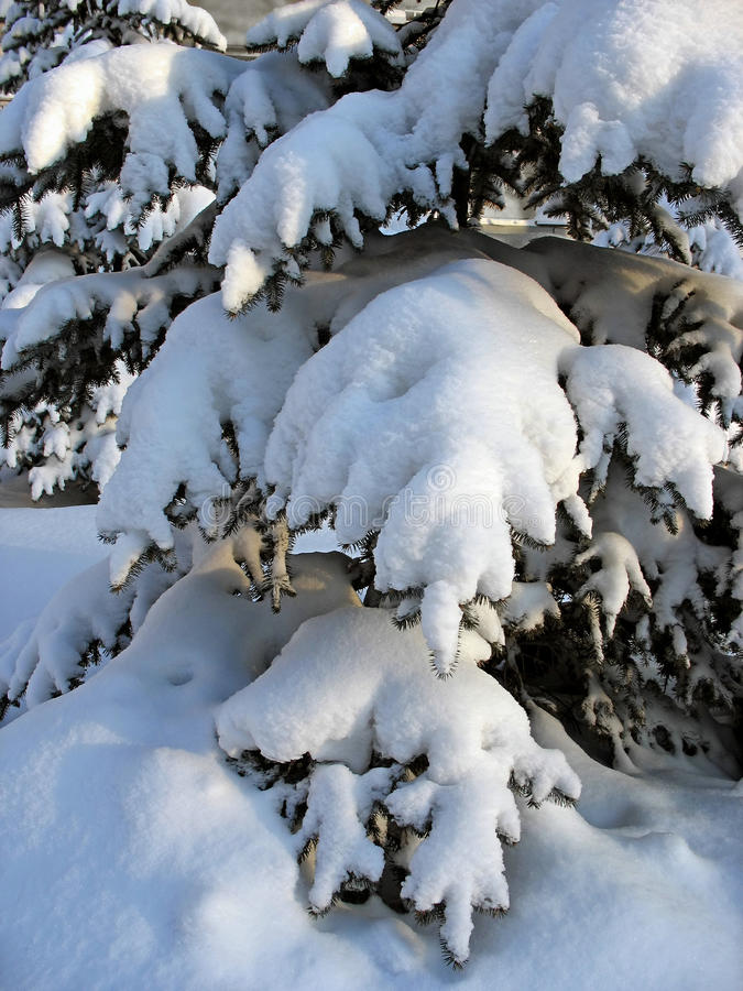 Download Snow-capped fir twigs stock photo. Image of winter, background - 25123586