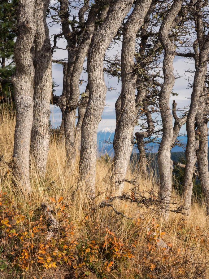 Snow capped mountain in distance between tree trunks royalty free stock image