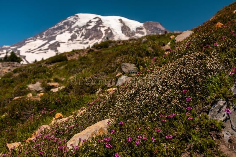 A snow capped mountain, Mount Rainier, at spring time with a field of spring wildflowers in the foreground, the mountain royalty free stock image