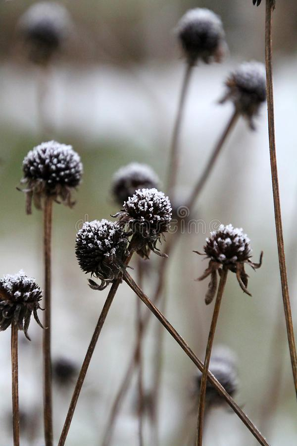 Free Snow-capped Rudbeckia Flower Seed Heads In Winter Royalty Free Stock Photography - 165260717