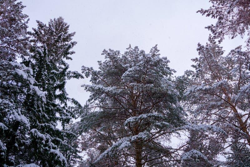 Snow-capped trees royalty free stock photos