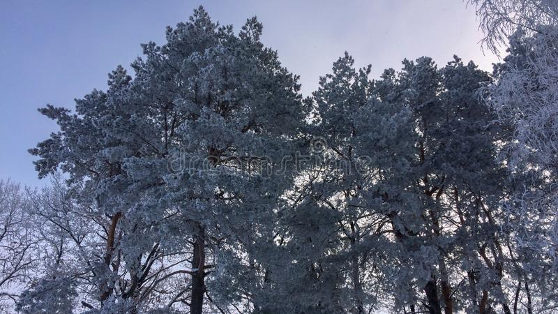 Frozen pines stock images