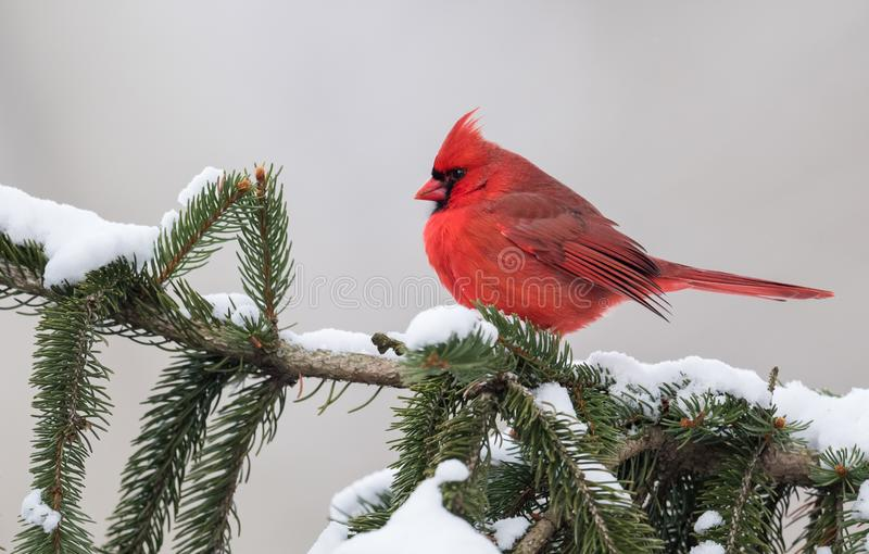 In Snow cardinal image stock