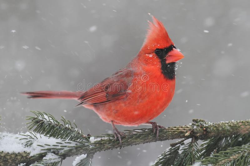 In Snow cardinal image stock