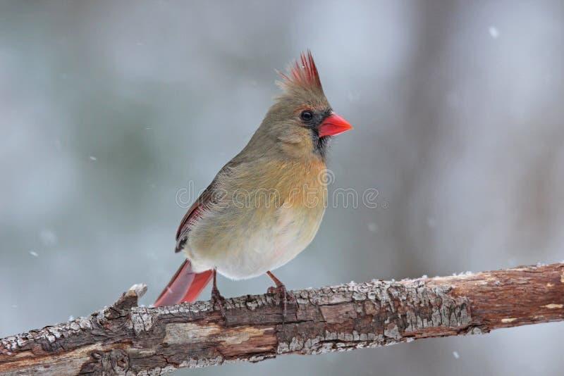 In The Snow cardinal féminin photographie stock