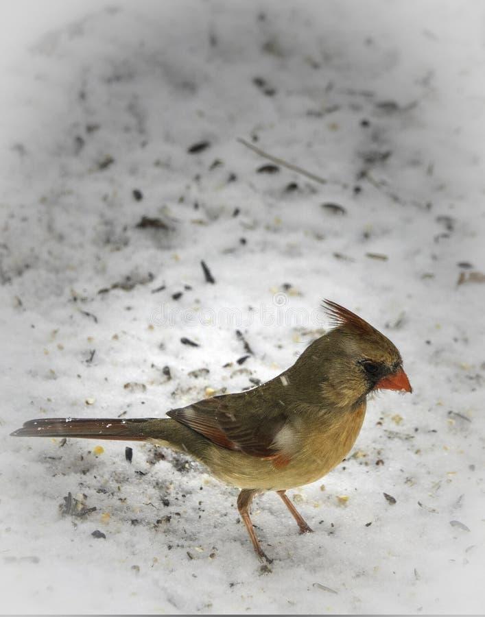 In The Snow cardinal femenino imágenes de archivo libres de regalías