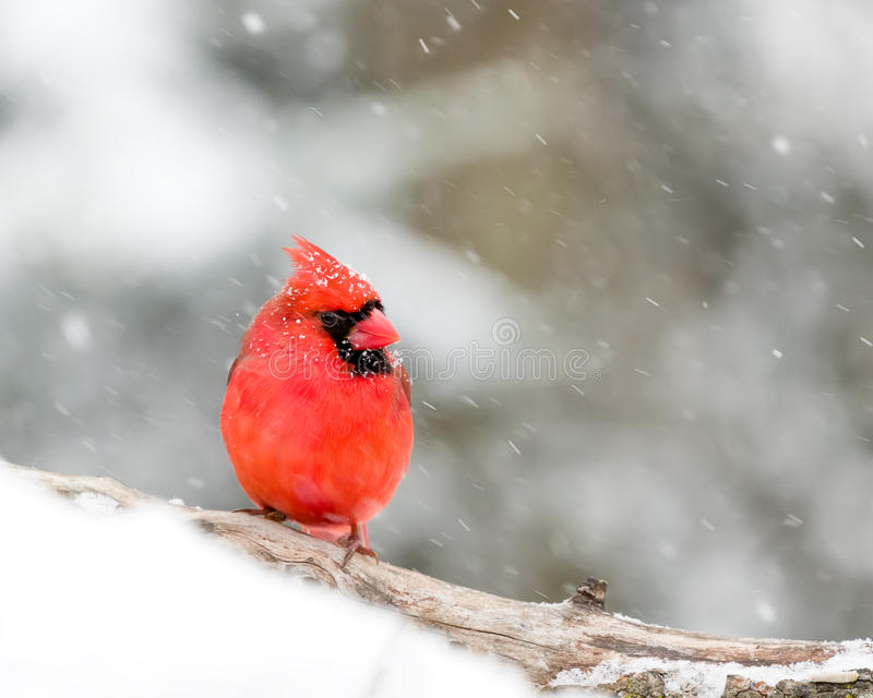 In The Snow cardinal masculin images libres de droits