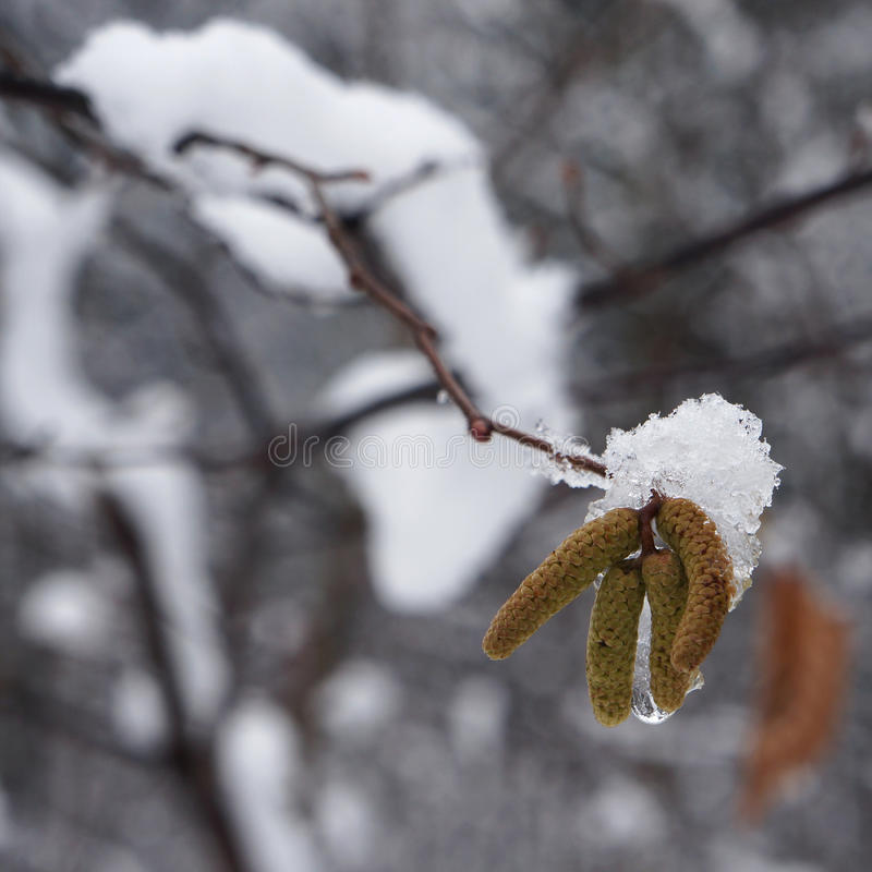 Snow on catkins of alder tree. Snow on catkins of alder tree in winter stock photography