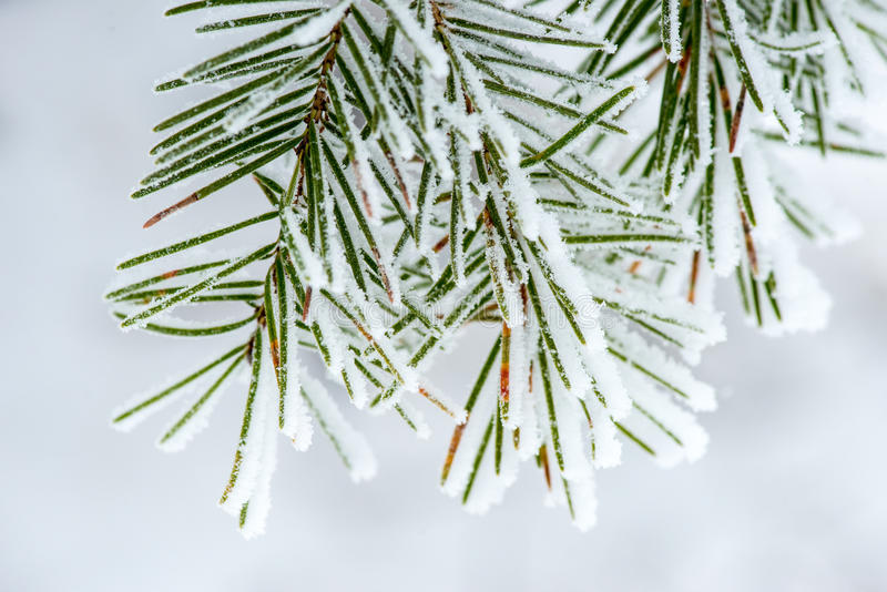 Snow Collected on Pine Needles. Snow collected on the Needles of this Pine tree branch stock photography