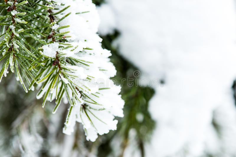 Snow Collected on Pine Needles. Snow collected on the Needles of this Pine tree branch stock photo