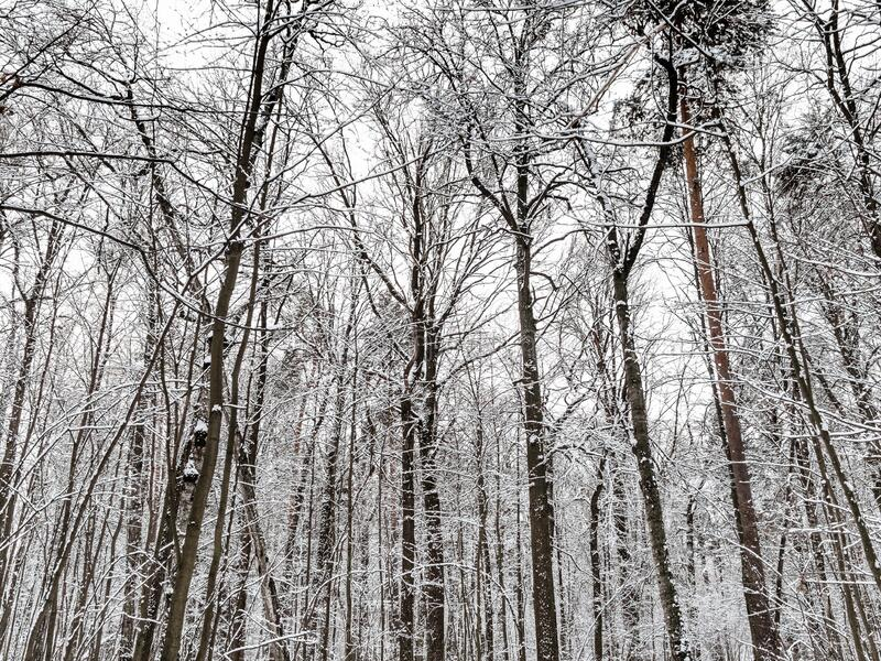 Snow-covere trees in forest of city park n winter. Snow-covere trees in forest of city park on overcast winter day royalty free stock image