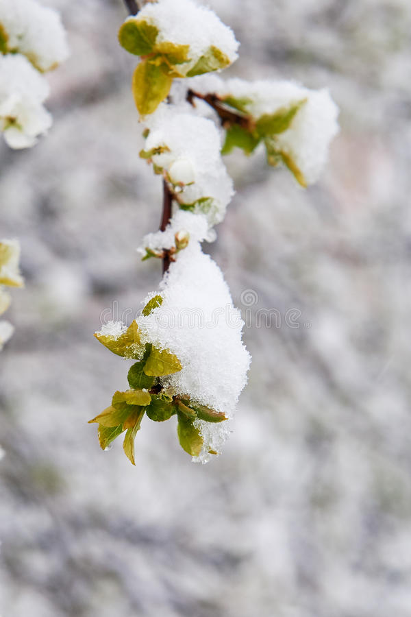 Snow-covered apple rings. Blooming trees snow-covered snow in May Spring royalty free stock photography