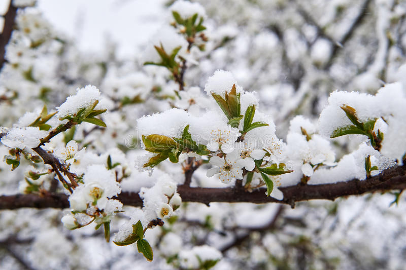 Snow-covered apple rings. Blooming trees snow-covered snow in May Spring stock image