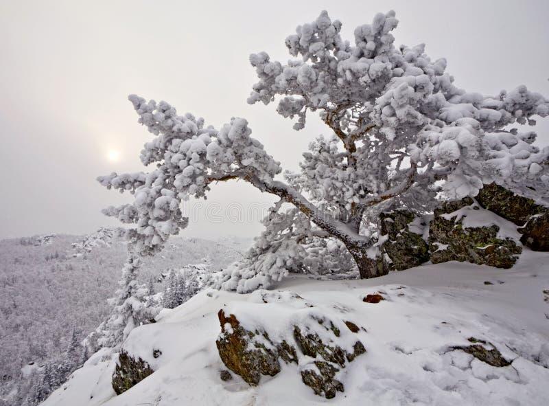 Snow-covered Baum auf einem Felsen stockfoto