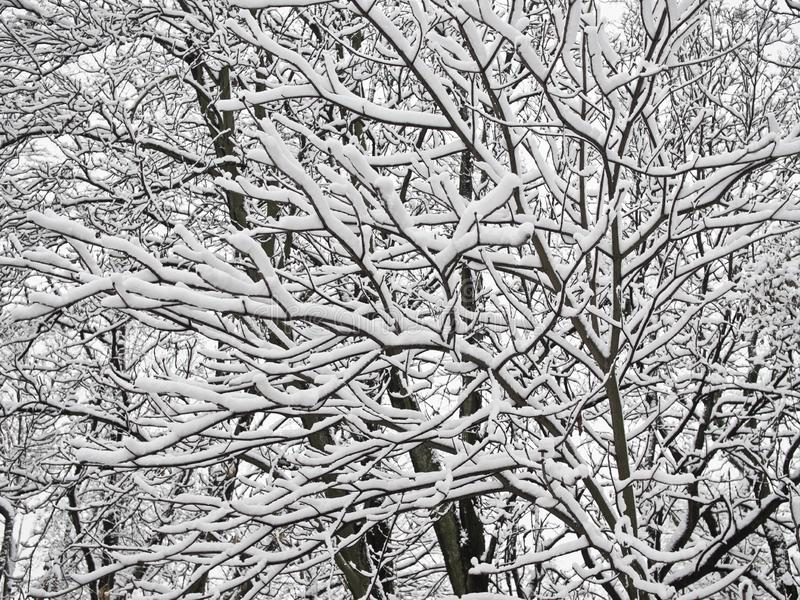 With snow covered beautiful tree branches. Cold winter days with snow covered beautiful tree branches in park royalty free stock photo