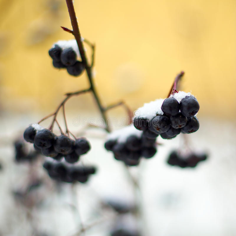 Snow covered berries