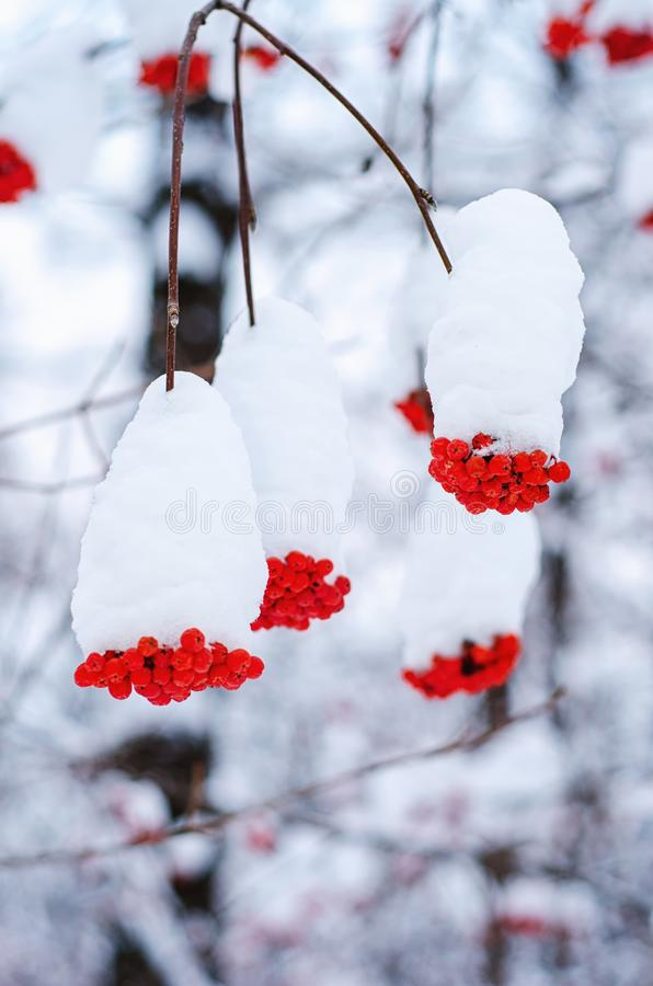 Snow-covered berries of red rowan royalty free stock photo