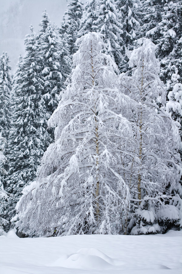 Free Snow Covered Birch Trees Stock Photo - 7968160