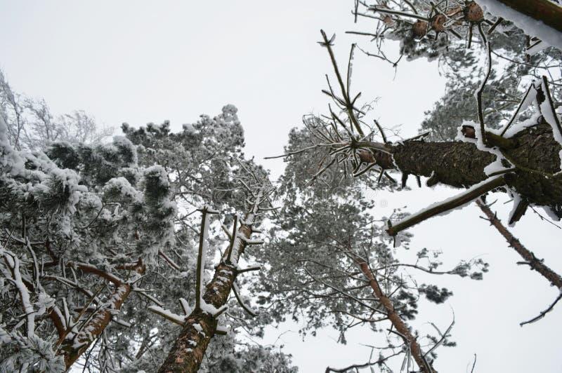 Snow-covered bomen worden gefotografeerd die van onderaan stock afbeelding