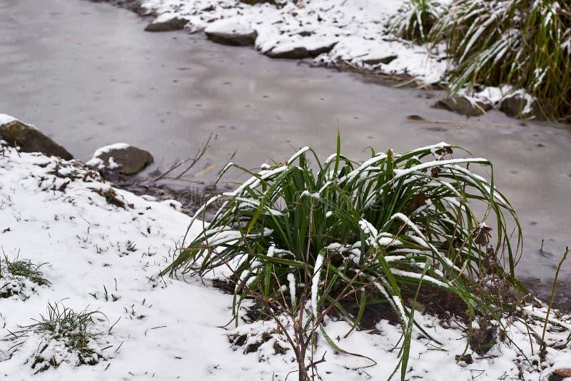 Snow-covered bosje van gras en kleine stroom in ijs in stadspark in mistige ochtend royalty-vrije stock afbeeldingen