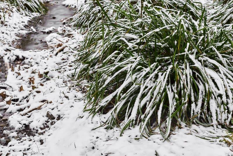 Snow-covered bosje van gras en kleine stroom in ijs in stadspark in mistige ochtend stock afbeelding