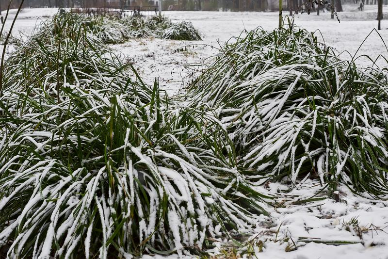 Snow-covered bosje van gras en kleine stroom in ijs in stadspark in mistige ochtend royalty-vrije stock afbeelding