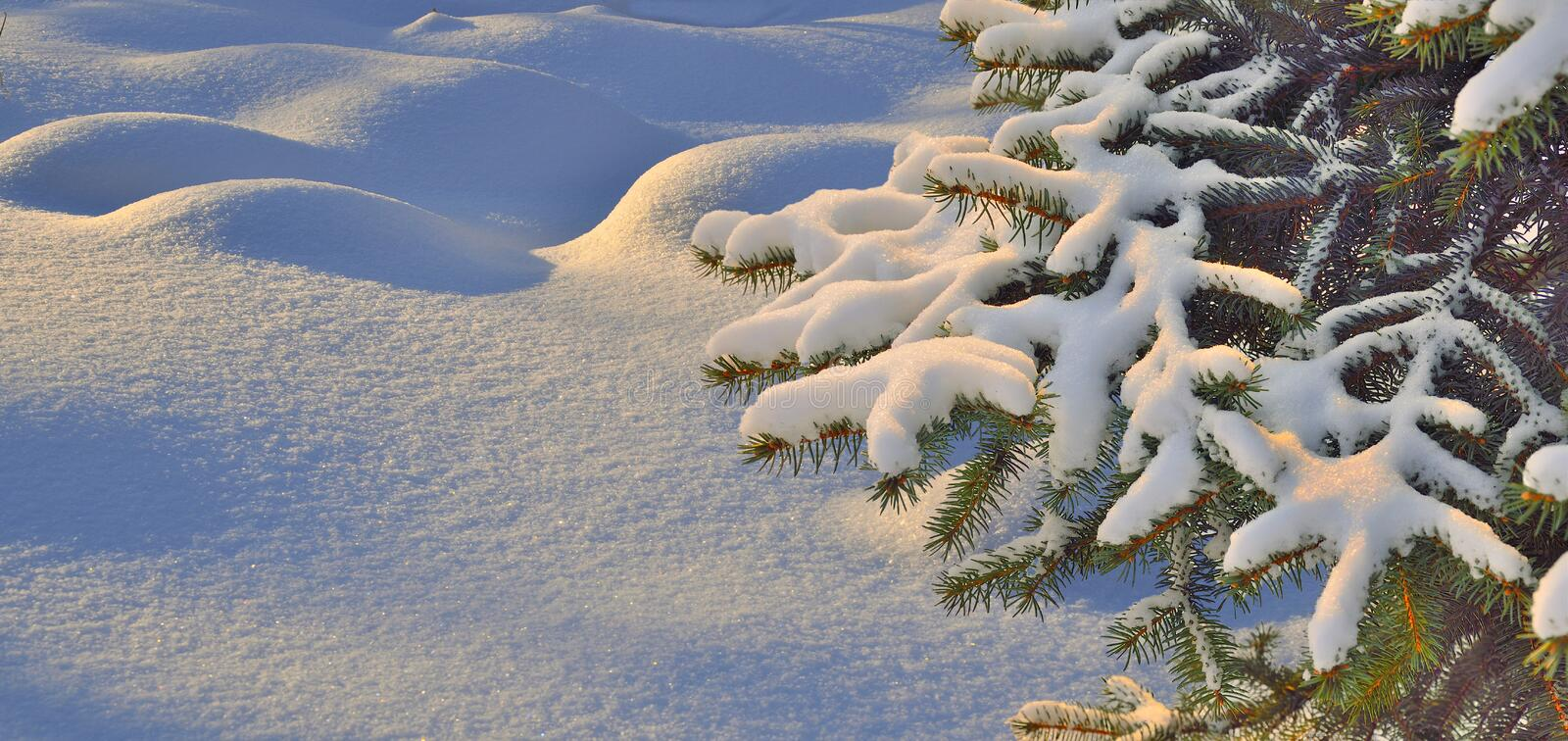 Snow covered branch of fir tree over a snowy wavy surface royalty free stock photography