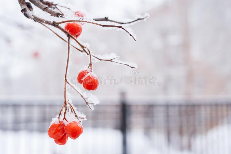 Snow-covered branch of mountain ash with red berries on white wi royalty free stock photos