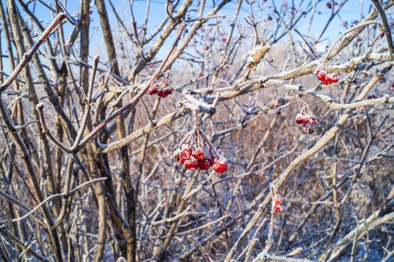 Snow-covered branch with a red berry viburnum covered with hoarfrost stock photos