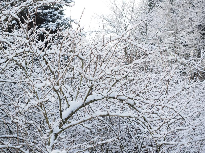 Snow covered branches royalty free stock photography