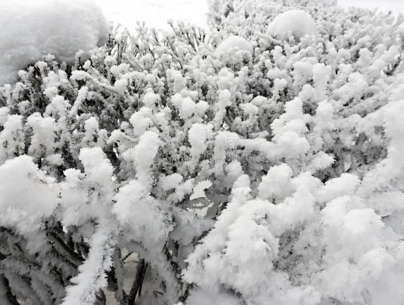 Snow covered branches close up in sunny day.  royalty free stock image