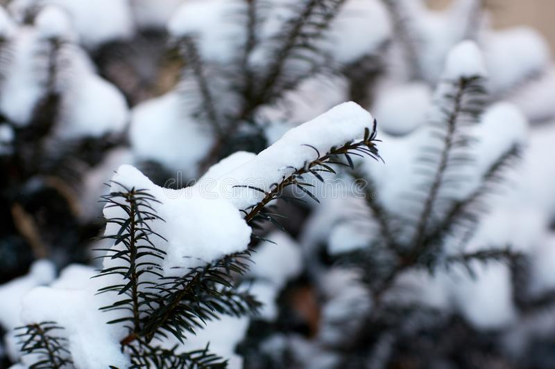 Snow covered branches of a conifer in winter. In a close up full frame view conceptual of the seasons royalty free stock photo