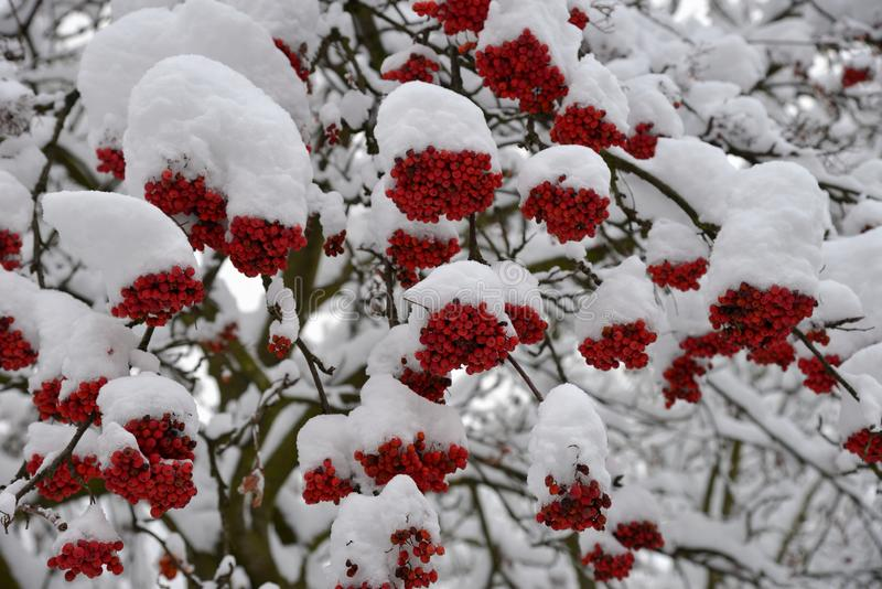 Snow-covered branches of mountain ash with berries threatening. In winter royalty free stock photo