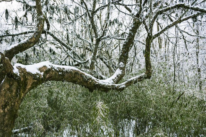 Snow-covered branches stock images