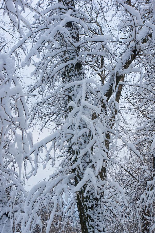 Snow-covered branches and trees in the city park. Winter landscape stock photo