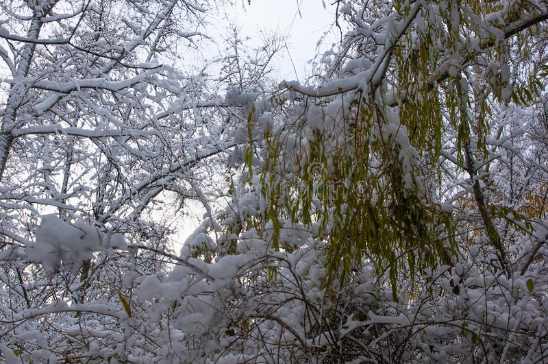 Snow-covered branches and trees in the city park. Winter landscape royalty free stock photography