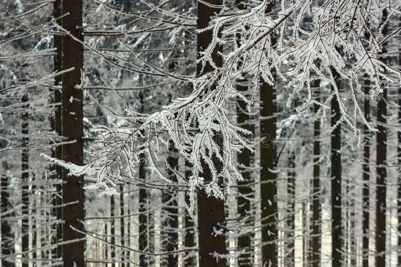 Snow-covered branches of trees. In the Jizera Mountains stock photo