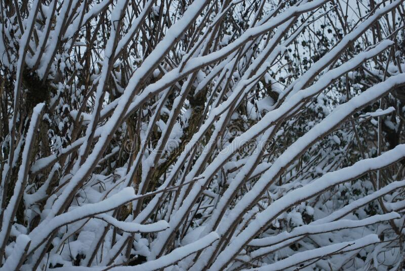 Snow covered branches in Winter royalty free stock image