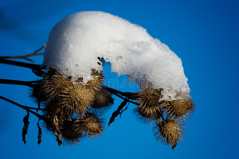 Snow Covered Burs. Bur weeds covered in ice and snow royalty free stock image