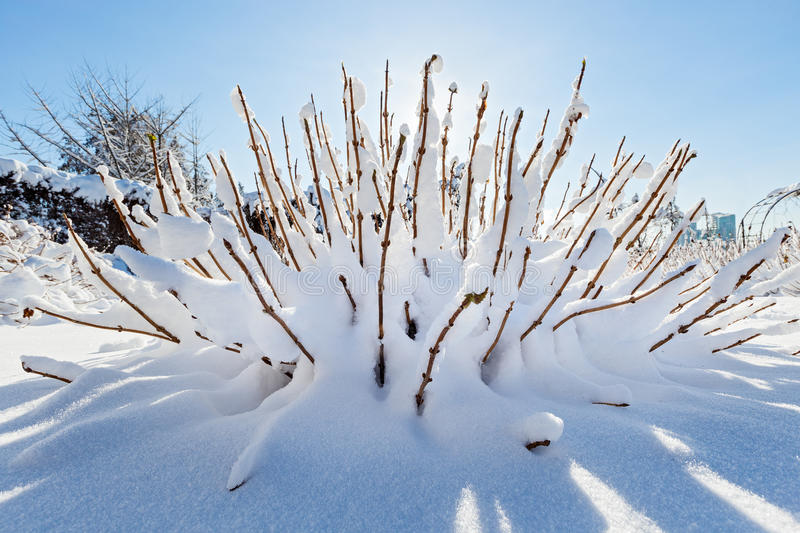 Snow covered bush in front of blue sky. Wide angle view stock images