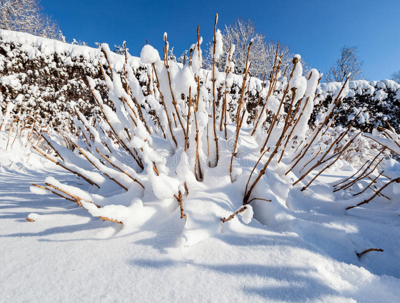 Snow covered bush in front of blue sky. Wide angle view stock photo