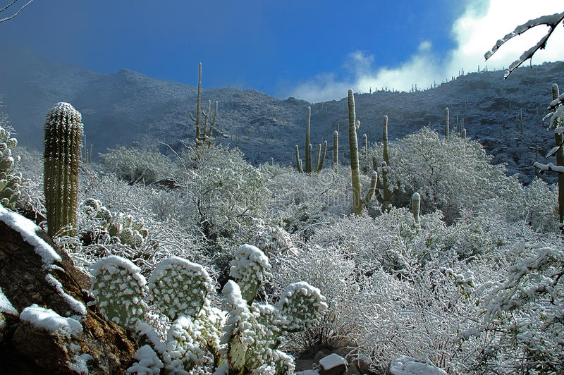 Snow-covered cactus royalty free stock images