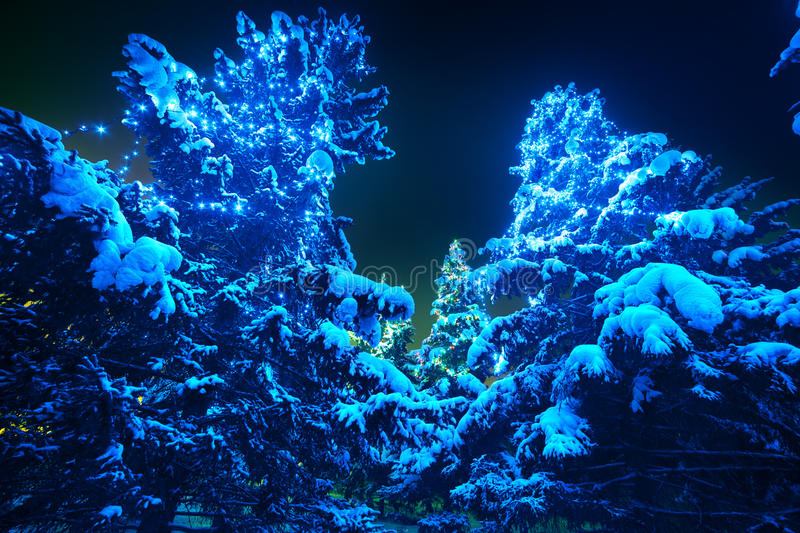 Snow covered Christmas tree lights in a winter. Forest by night. Gigantic spruces with Christmas lights, stand out brightly against the dark blue tones of the stock photography