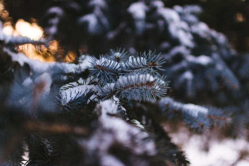 Snow Covered Conifer Tree Leaves Free Public Domain Cc0 Image